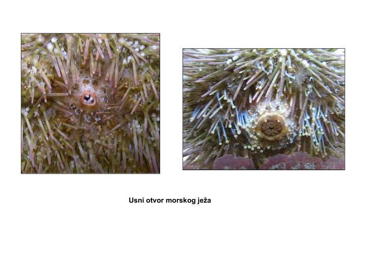 Usni otvor morskog ježa
