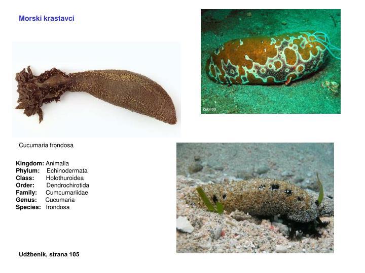 Morski krastavci