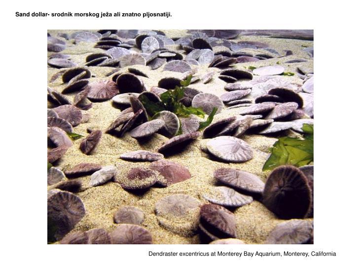 Sand dollar- srodnik morskog ježa ali znatno pljosnatiji.
