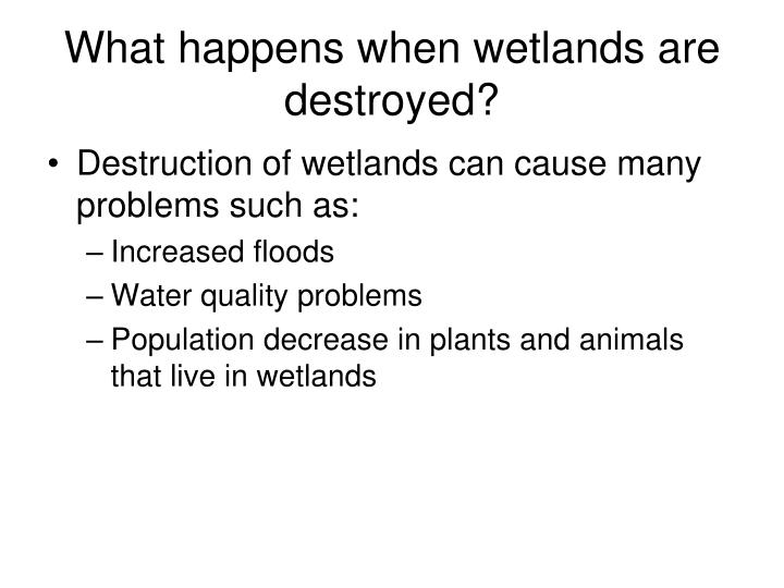 What happens when wetlands are destroyed?