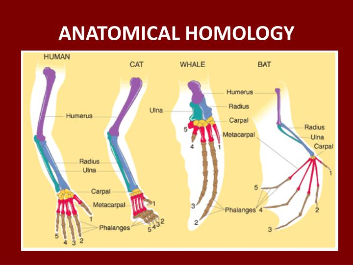 ANATOMICAL HOMOLOGY