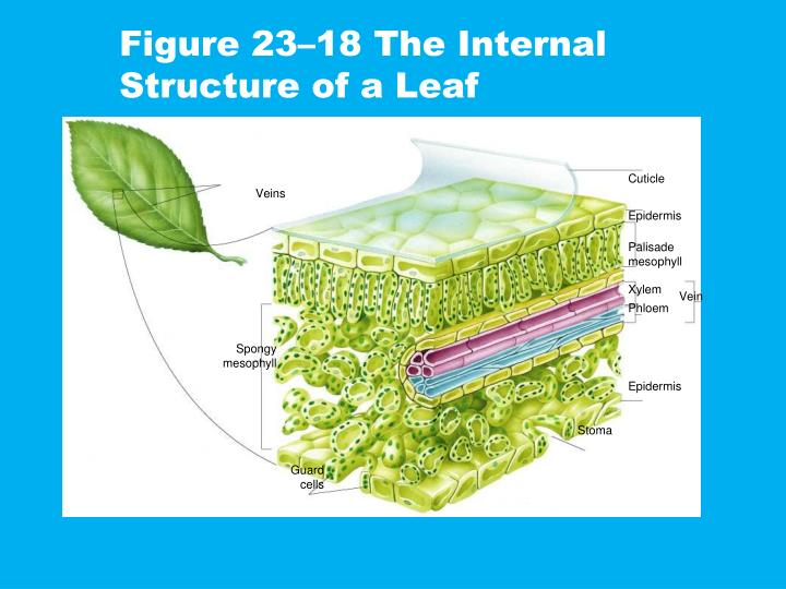 Figure 23 18 the internal structure of a leaf