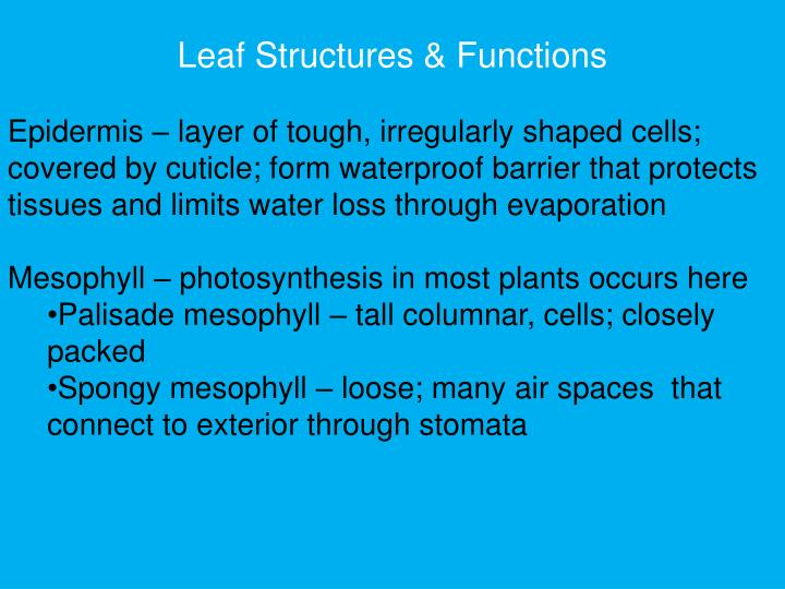 Leaf Structures & Functions