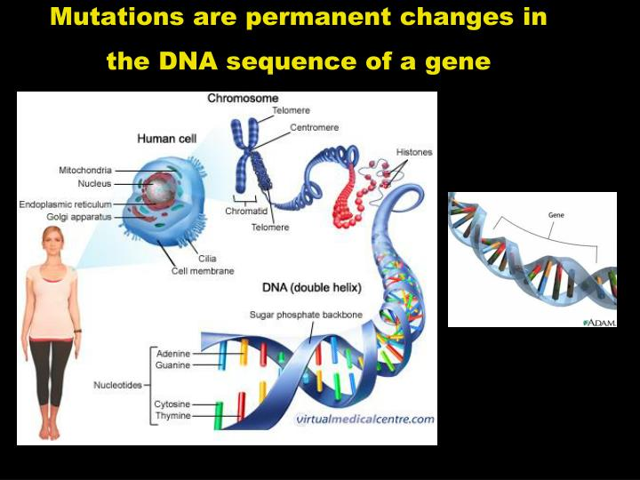 Mutations are permanent changes in the DNA sequence of a gene