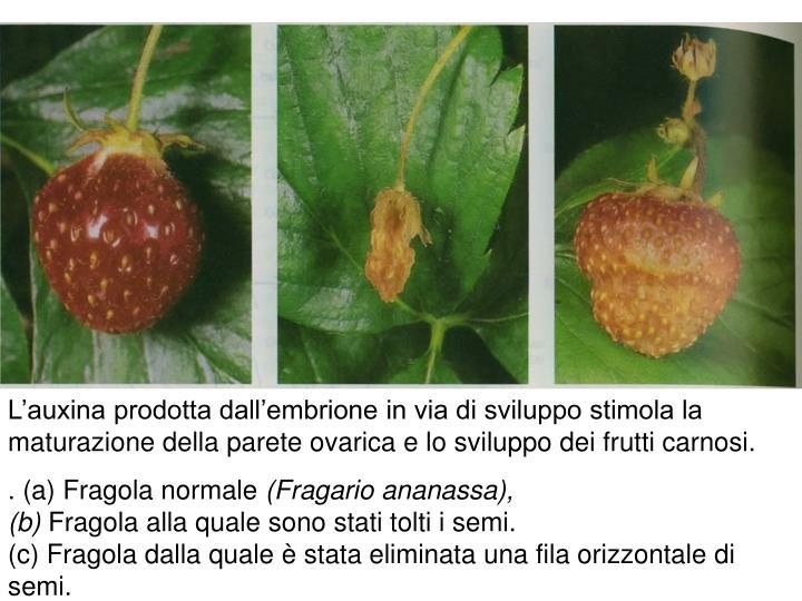 L'auxina prodotta dall'embrione in via di sviluppo stimola la maturazione della parete ovarica e lo sviluppo dei frutti carnosi.