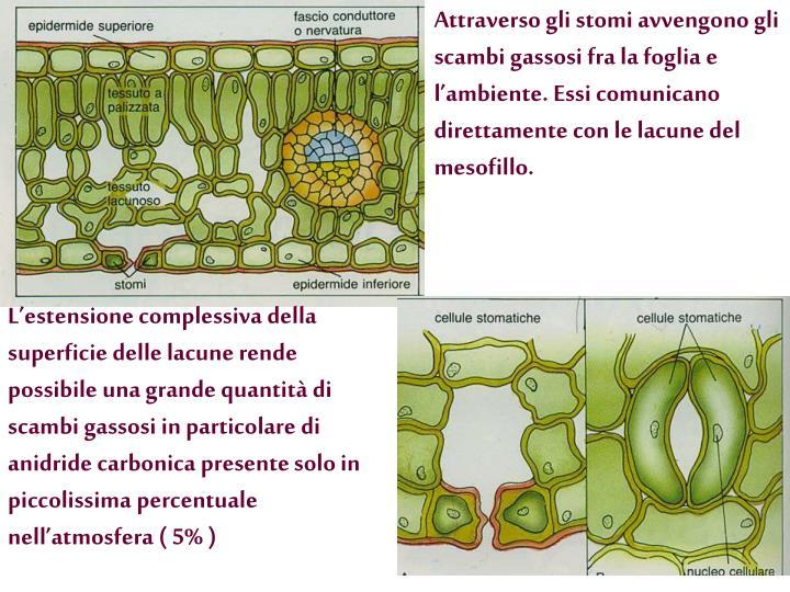 Attraverso gli stomi avvengono gli scambi gassosi fra la foglia e l'ambiente. Essi comunicano direttamente con le lacune del mesofillo.