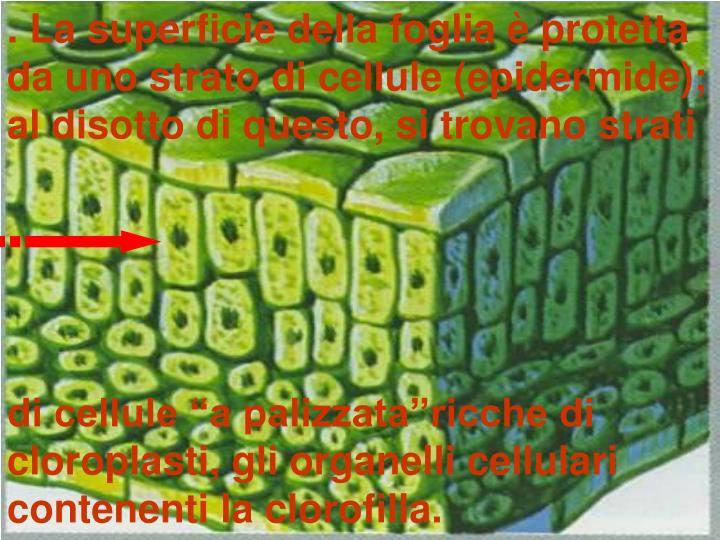. La superficie della foglia è protetta da uno strato di cellule (epidermide);