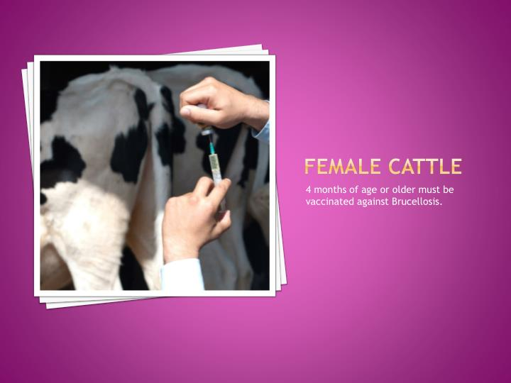 Female Cattle