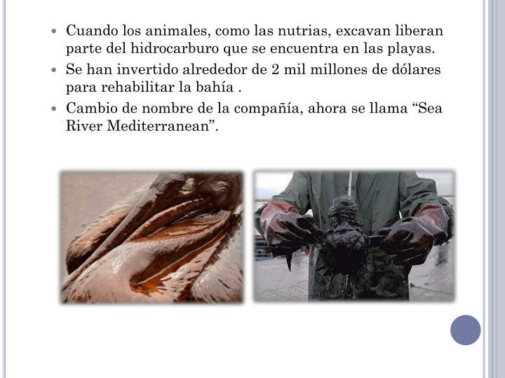 Cuando los animales, como las nutrias, excavan liberan parte del hidrocarburo que se encuentra en las playas.