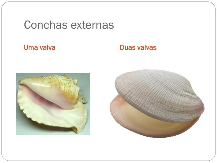 Conchas externas