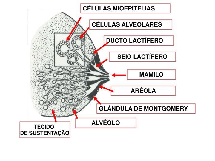 CÉLULAS MIOEPITELIAS