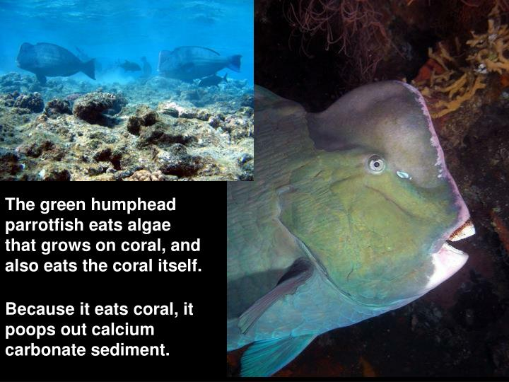 The green humphead parrotfish eats algae that grows on coral, and also eats the coral itself.