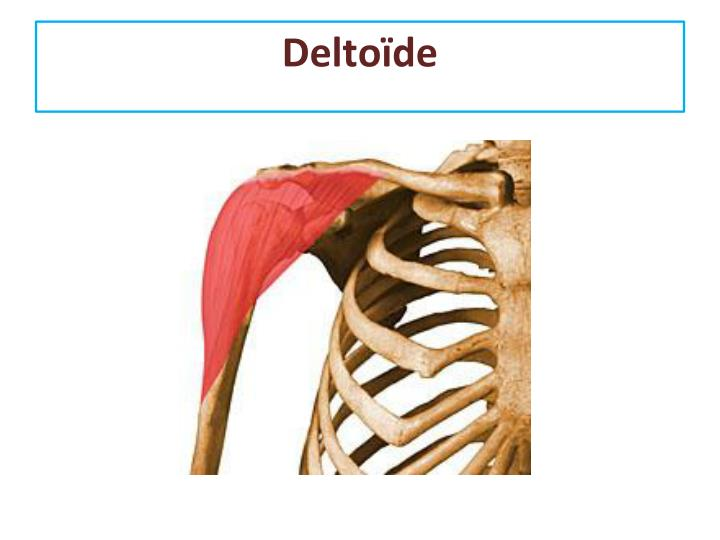 Deltoïde