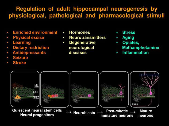 Regulation  of  adult  hippocampal  neurogenesis  by  physiological,  pathological  and  pharmacological  stimuli