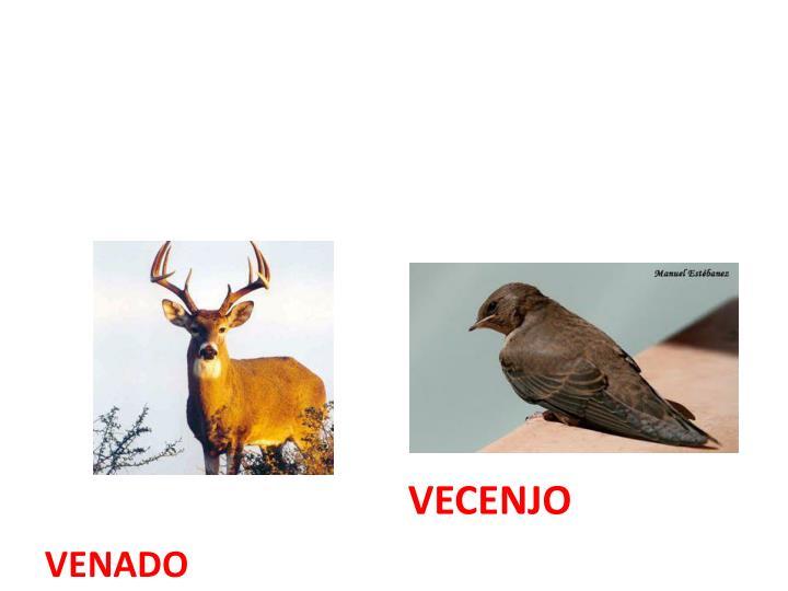 VENADO