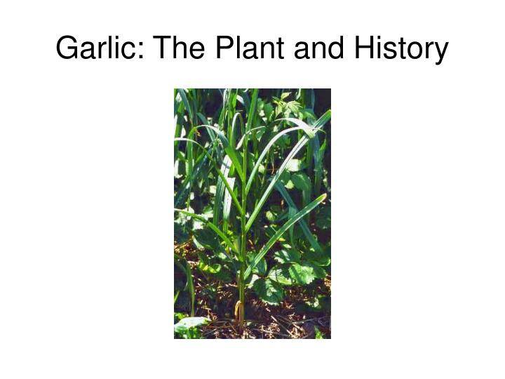 Garlic: The Plant and History
