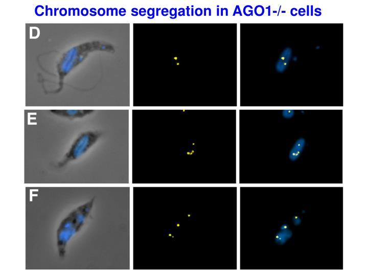 Chromosome segregation in AGO1-/- cells