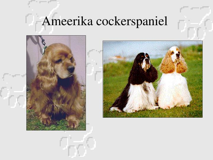 Ameerika cockerspaniel