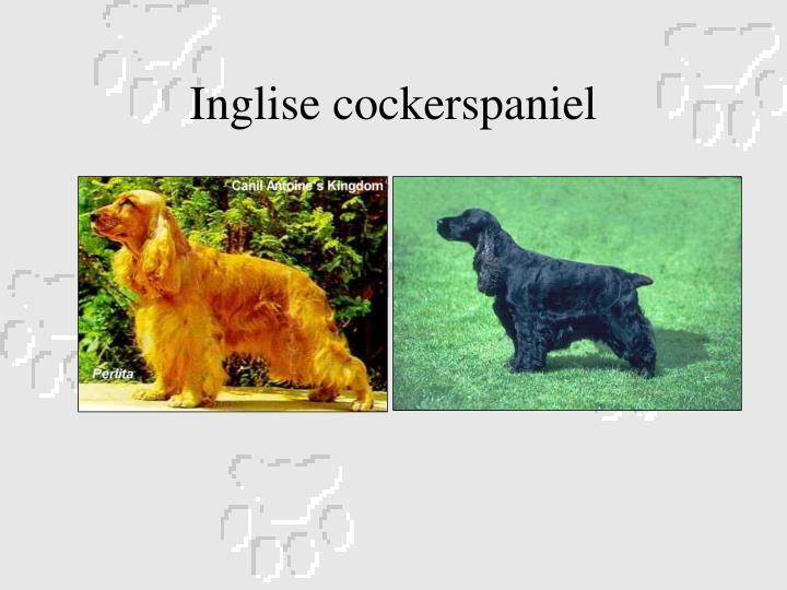 Inglise cockerspaniel