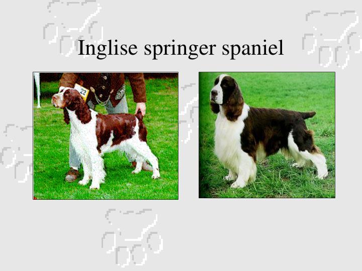 Inglise springer spaniel