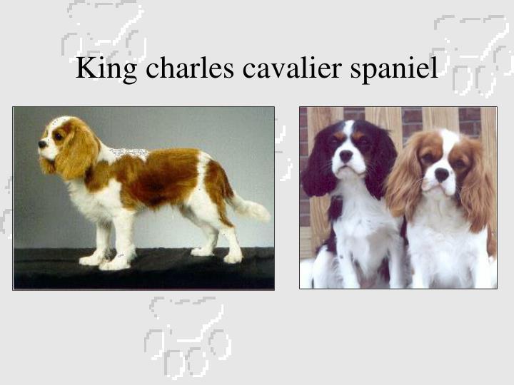 King charles cavalier spaniel