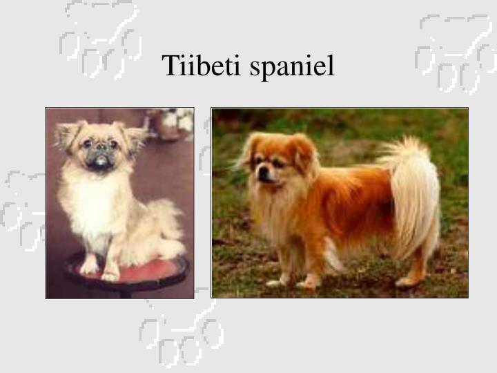 Tiibeti spaniel