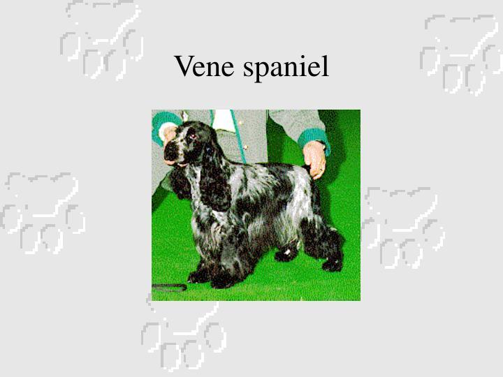 Vene spaniel