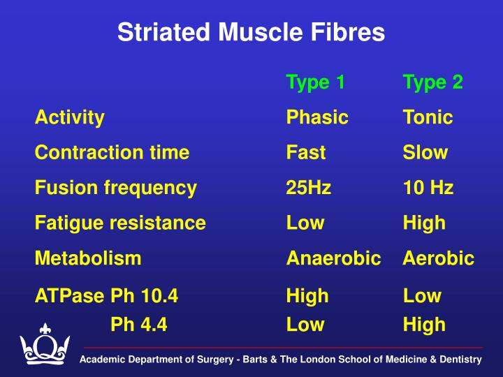 Striated Muscle Fibres