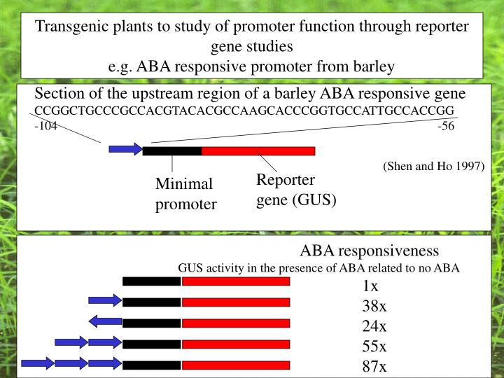 Transgenic plants to study of promoter function through reporter gene studies