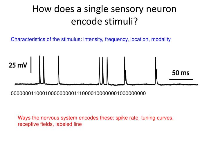 How does a single sensory neuron encode stimuli?