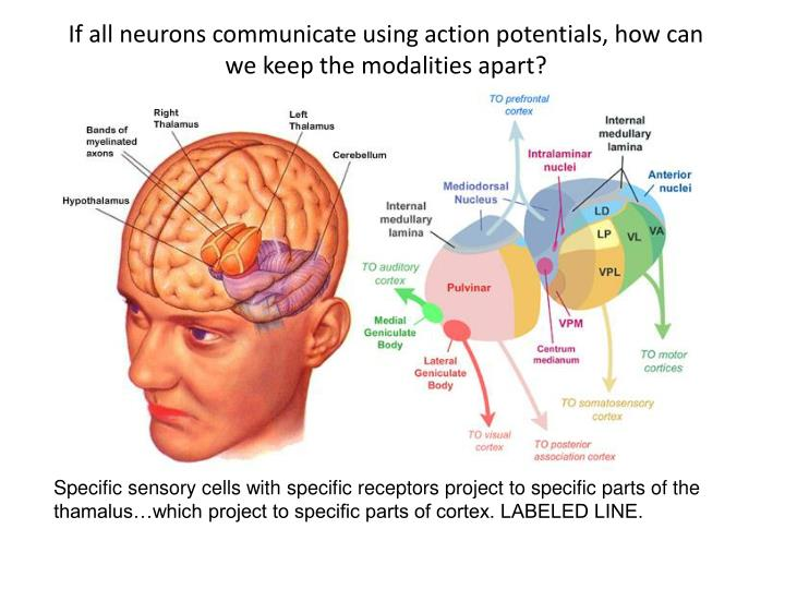If all neurons communicate using action potentials, how can we keep the modalities apart?