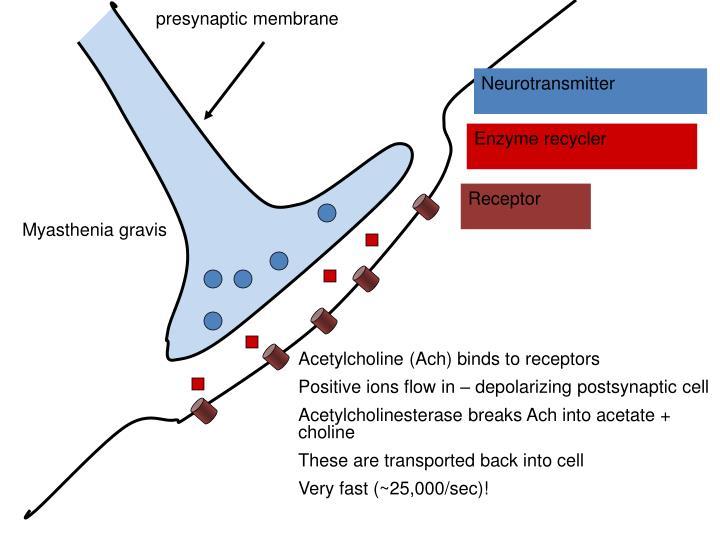 presynaptic membrane