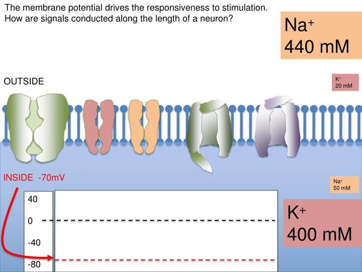 The membrane potential drives the responsiveness to stimulation.  How are signals conducted along the length of a neuron?