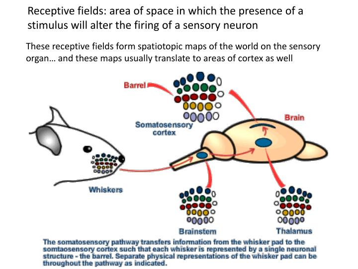 Receptive fields: area of space in which the presence of a stimulus will alter the firing of a sensory neuron