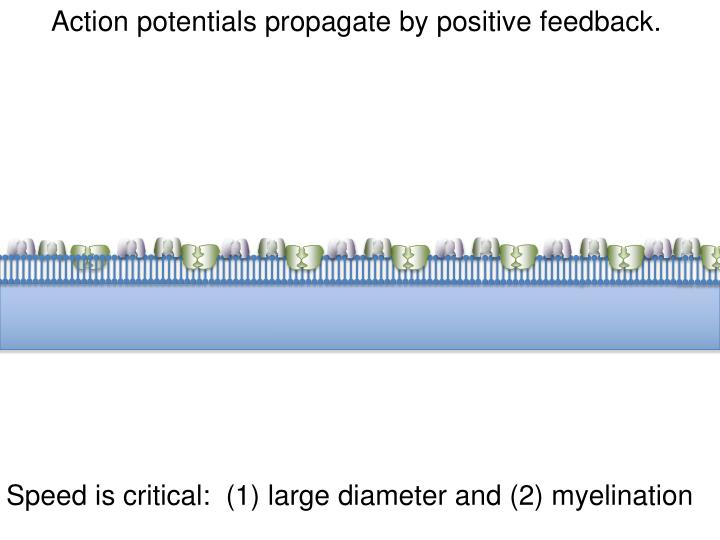 Action potentials propagate by positive feedback.