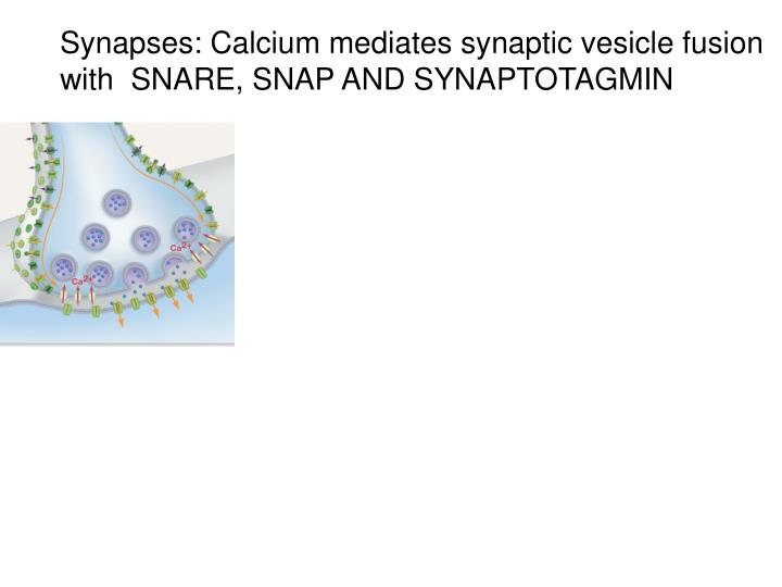 Synapses: Calcium mediates synaptic vesicle fusion with  SNARE, SNAP AND SYNAPTOTAGMIN