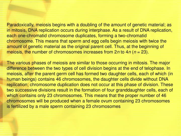 Paradoxically, meiosis begins with a doubling of the amount of genetic material; as in mitosis, DNA replication occurs during interphase. As a result of DNA replication, each one-chromatid chromosome duplicates, forming a two-chromatid chromosome. This means that sperm and egg cells begin meiosis with twice the amount of genetic material as the original parent cell. Thus, at the beginning of meiosis, the number of chromosomes increases from 2