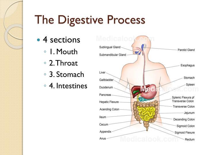The Digestive Process