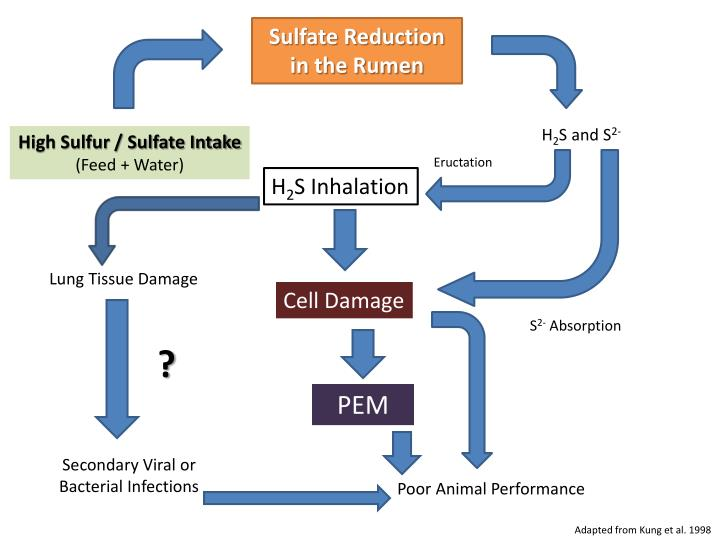 Sulfate Reduction in the Rumen