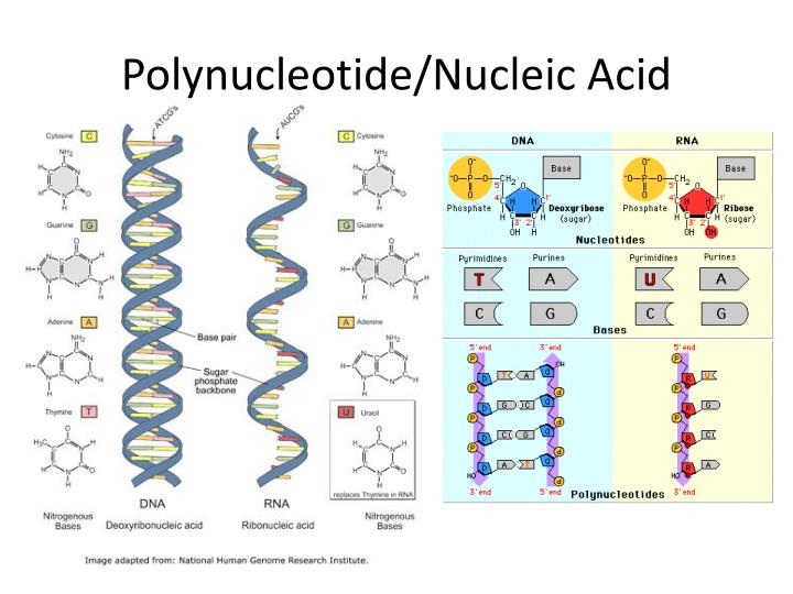 Polynucleotide/Nucleic Acid