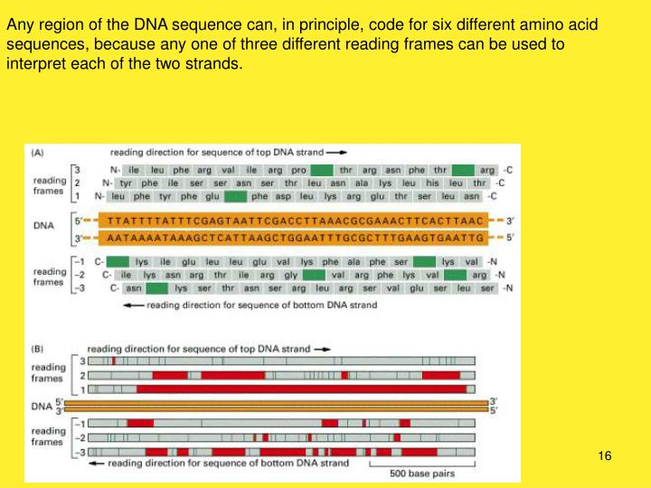 Any region of the DNA sequence can, in principle, code for six different amino acid sequences, because any one of three different reading frames can be used to interpret each of the two strands.