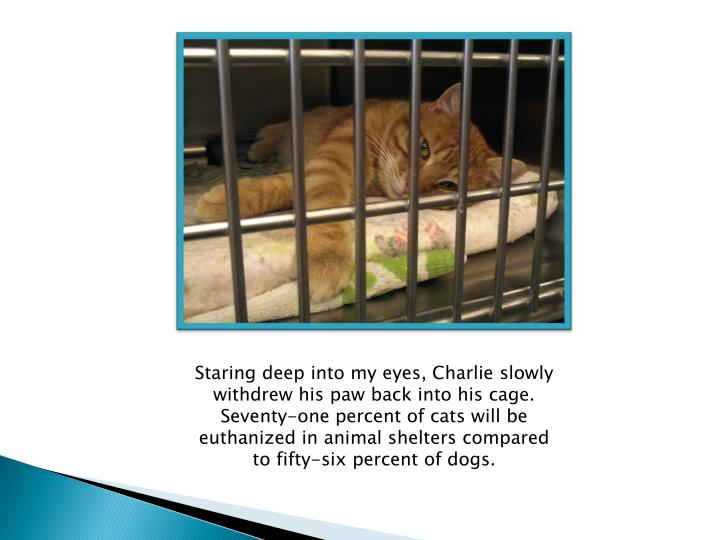 Staring deep into my eyes, Charlie slowly withdrew his paw back into his cage.  Seventy-one percent of cats will be euthanized in animal shelters compared to fifty-six percent of dogs.