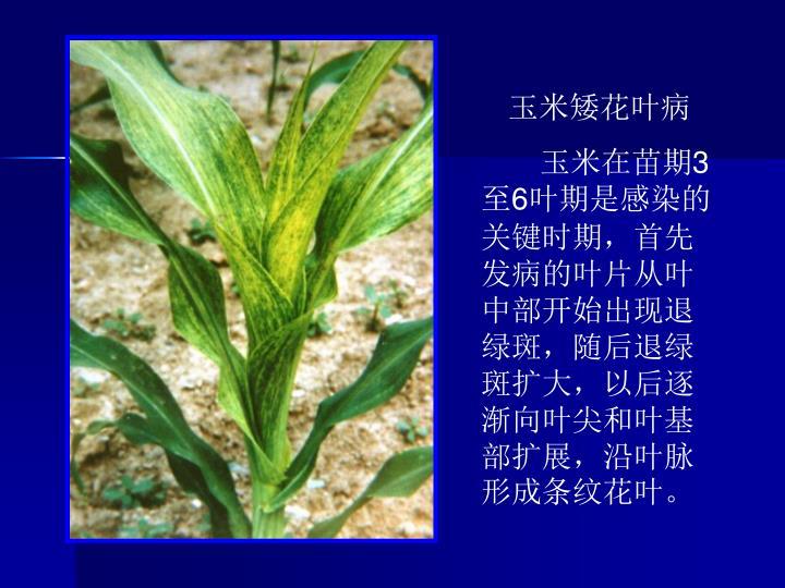 玉米矮花叶病