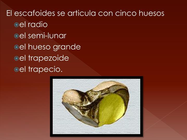 El escafoides se articula con cinco huesos