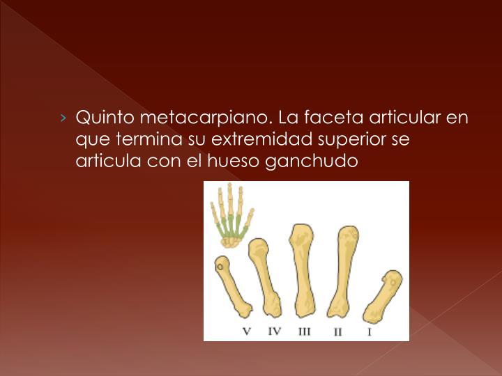 Quinto metacarpiano. La faceta articular en que termina su extremidad superior se articula con el hueso ganchudo