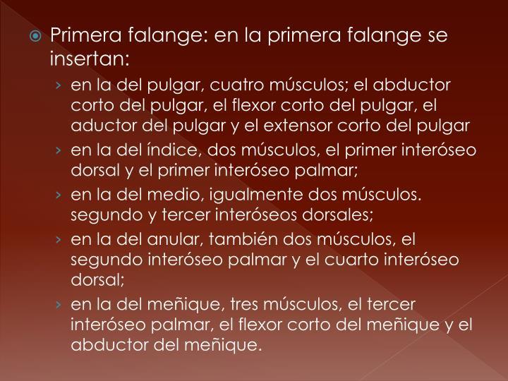 Primera falange: en la primera falange se insertan: