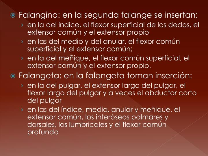 Falangina: en la segunda falange se insertan: