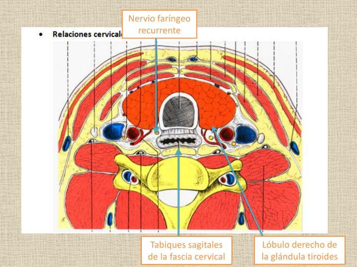 Nervio faríngeo recurrente