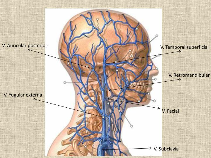 V. Auricular posterior