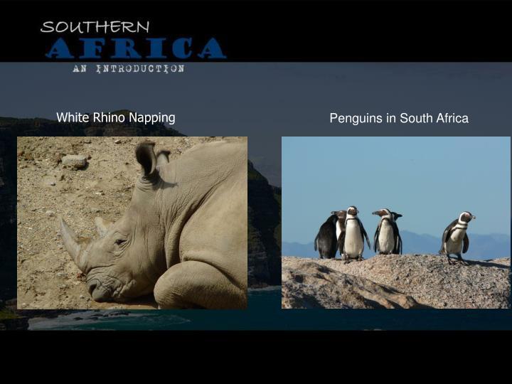White Rhino Napping